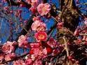 Odawara Ume blossom Matsuri的封面
