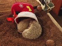 Hedgehog Cafe HARRY, Harajuku的封面