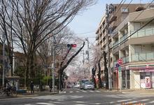 Matsudo City Cherry Blossom Festival的封面