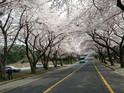 济州大学樱花路  的封面