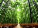 嵯峨野竹林的封面